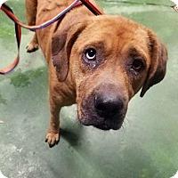 Adopt A Pet :: Brandy - Savannah, GA