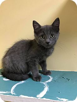 Domestic Shorthair Kitten for adoption in Maryville, Missouri - America