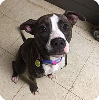 Terrier (Unknown Type, Medium)/American Pit Bull Terrier Mix Dog for adoption in Fulton, Missouri - Licorice- Ohio