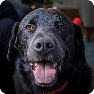 Labrador Retriever Dog for adoption in San Francisco, California - Lincoln