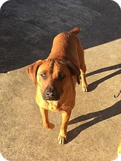 Australian Cattle Dog Mix Dog for adoption in Brattleboro, Vermont - Hershey Bell