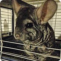 Adopt A Pet :: Smokette - Granby, CT