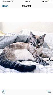 Siamese Kitten for adoption in Sacramento, California - Lucy