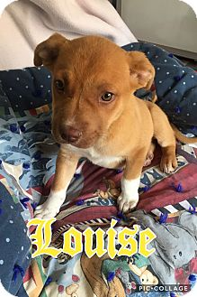 Staffordshire Bull Terrier Mix Puppy for adoption in Mesa, Arizona - LOUISE 8 WEEK STAFFORDSHIRE TE