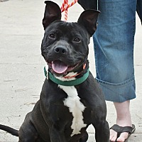 Pit Bull Terrier Mix Dog for adoption in Minneapolis, Minnesota - Salsa