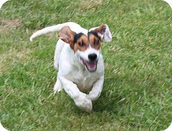 Basset Hound/Hound (Unknown Type) Mix Dog for adoption in Harmony, Glocester, Rhode Island - Mercury