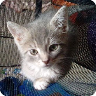 Domestic Shorthair Kitten for adoption in Salamanca, New York - Chandler