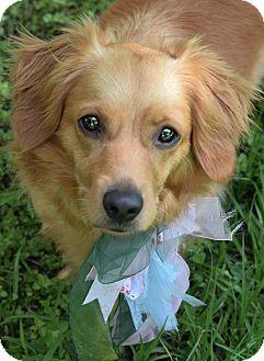 Golden Retriever Mix Dog for adoption in Denver, Colorado - Tally