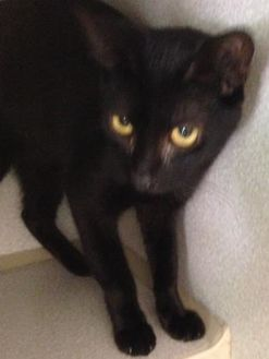 Domestic Shorthair/Domestic Shorthair Mix Cat for adoption in St. Thomas, Virgin Islands - Victor