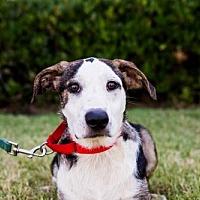 Adopt A Pet :: Leilani - San Diego, CA