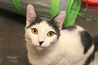Domestic Shorthair Cat for adoption in Phoenix, Arizona - Pepper