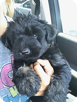 Goldendoodle Mix Puppy for adoption in west hollywood, California - Batman