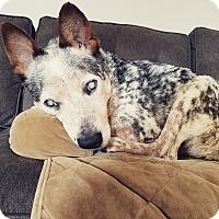 Australian Cattle Dog Dog for adoption in Madison, Wisconsin - Warbux:Gentle soul (NY)