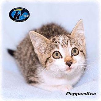 Domestic Shorthair Kitten for adoption in Howell, Michigan - Pepperdine