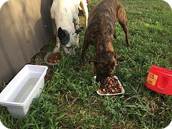Mixed Breed (Medium)/Australian Shepherd Mix Dog for adoption in Weatherford, Texas - Snow/Brindle
