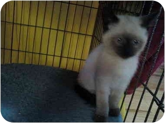 Siamese Kitten for adoption in Sunderland, Ontario - Mia