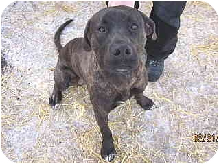 Labrador Retriever/Terrier (Unknown Type, Medium) Mix Puppy for adoption in Libby, Montana - Buck