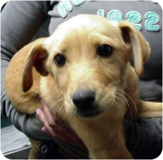 Labrador Retriever/Airedale Terrier Mix Puppy for adoption in Manassas, Virginia - Javone