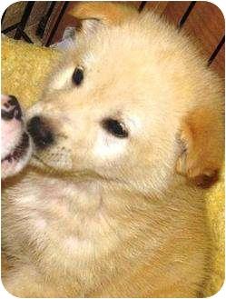 Golden Retriever/Husky Mix Puppy for adoption in Oswego, Illinois - I'M ADOPTED Mia Massoth