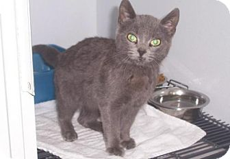 Domestic Shorthair Cat for adoption in Mt. Vernon, Illinois - Slinky