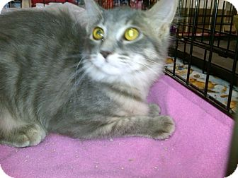 Domestic Longhair Kitten for adoption in Sterling Hgts, Michigan - Pulsar