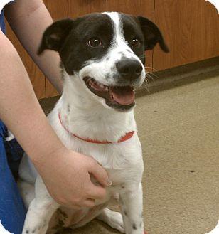 Border Collie/Terrier (Unknown Type, Medium) Mix Puppy for adoption in Hagerstown, Maryland - Annabelle