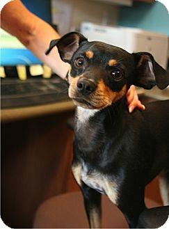 Manchester Terrier/Miniature Pinscher Mix Dog for adoption in Coronado, California - Runner