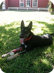 German Shepherd Dog Puppy for adoption in Litchfield Park, Arizona - Buster- Only $95 adoption fee!