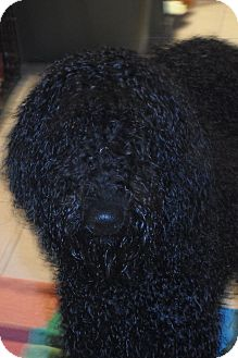 Poodle (Standard)/Portuguese Water Dog Mix Dog for adoption in Wappingers, New York - Ms. Moonshine