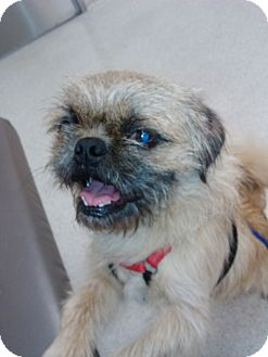 Brussels Griffon Mix Dog for adoption in San Diego, California - Alvin