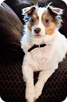 Chihuahua Dog for adoption in Shrewsbury, New Jersey - Justin
