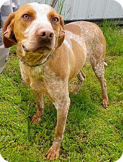 German Shorthaired Pointer/Coonhound (Unknown Type) Mix Dog for adoption in Metamora, Indiana - Amos