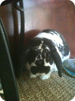 Lop-Eared Mix for adoption in Conshohocken, Pennsylvania - Tom Selleck
