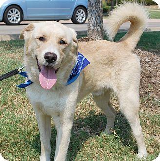 Retriever (Unknown Type)/Labrador Retriever Mix Dog for adoption in White Settlement, Texas - Dutch-adoption pending