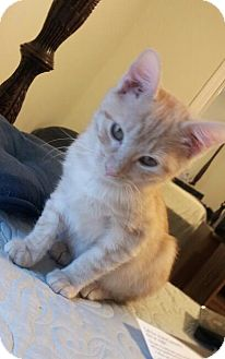Domestic Shorthair Kitten for adoption in Homewood, Alabama - Puccini
