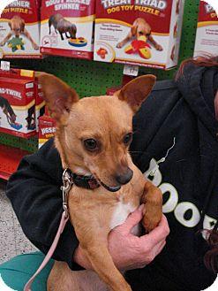 Chihuahua Mix Dog for adoption in San Dimas, California - Bailey