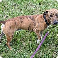 Adopt A Pet :: Bo - Westfield, IN