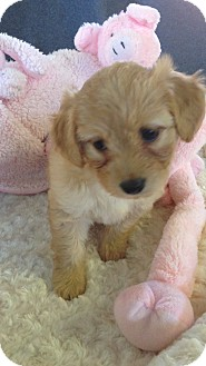 Basenji/Spaniel (Unknown Type) Mix Puppy for adoption in El Segundo, California - Mila