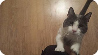 Domestic Shorthair Cat for adoption in THORNHILL, Ontario - BLANCHE