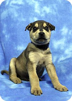 Husky/Retriever (Unknown Type) Mix Puppy for adoption in Westminster, Colorado - Amarillo