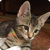 Adopt A Pet :: Jinx - New  York City, NY