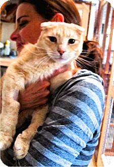 Scottish Fold Cat for adoption in Davis, California - Little Lion Leo