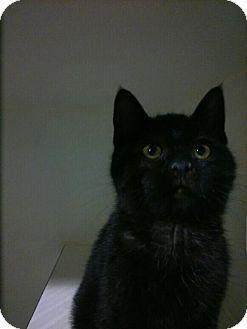 Domestic Shorthair Kitten for adoption in Hamilton, Ontario - Greg