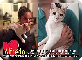 Domestic Shorthair Kitten for adoption in Brooklyn, New York - Alfredo