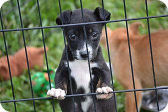 Labrador Retriever/Boxer Mix Puppy for adoption in Wilminton, Delaware - Beanie