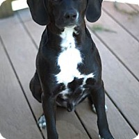 Adopt A Pet :: Mesa - courtesy listing - Gig Harbor, WA