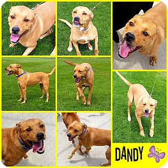Pit Bull Terrier/Boxer Mix Dog for adoption in Joliet, Illinois - Dandy
