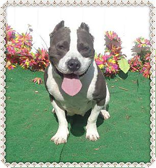 American Pit Bull Terrier Mix Dog for adoption in Marietta, Georgia - BERMA