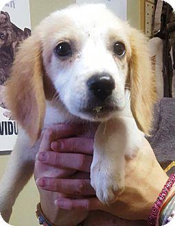 Cavalier King Charles Spaniel Mix Puppy for adoption in Oswego, Illinois - I'M ADOPTED Sadie