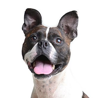 Boxer Mix Dog for adoption in Wilmington, Delaware - Meesh